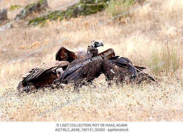 Cinereous Vulture with Griffon Vultures, Cinereous Vulture, Aegypius monachus
