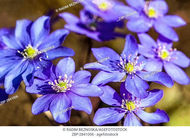 Hepatica nobilis, Kidneywort, Liverleaf or Liverwort blooming in early spring
