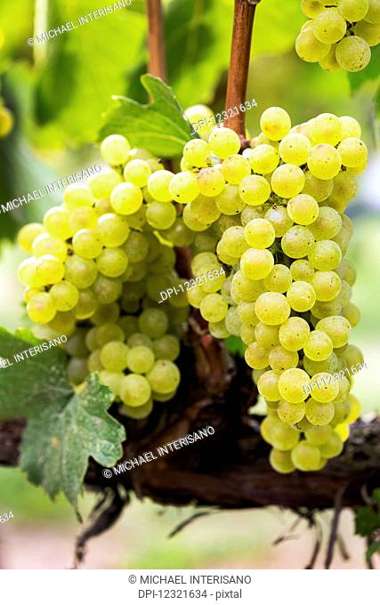 Clusters of white grapes hanging on the vine; Penticton, British Columbia, Canada