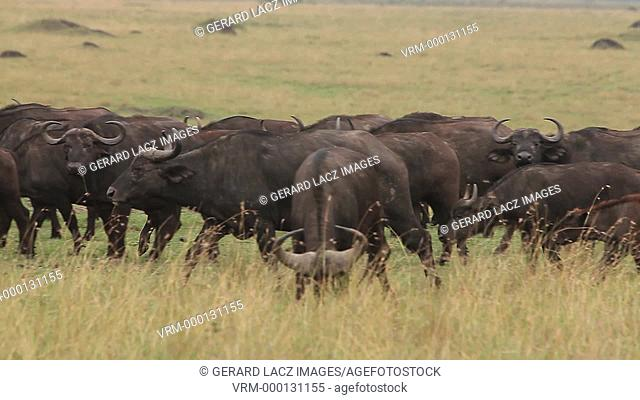 African Buffalo, syncerus caffer, Herd walking through Savanna, Nakuru Park in Kenya, Real Time