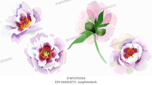 Gently pink peonies. Floral botanical flower. Wild spring leaf wildflower isolated. Aquarelle wildflower for background, texture, wrapper pattern
