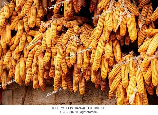 Corn cobs drying, china, asia