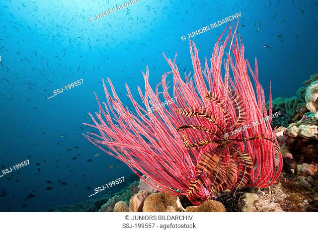 Red Whip Coral (Ellisella ceratophyta) on coral reef. Triton Bay, West Papua, Indonesia