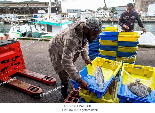 UNLOADING THE COASTAL FISH (INSHORE FISHING) AT THE WHOLESALE FISH MARKET, THE GILL NET BOAT 'LES OCEANES', PORT OF LORIENT (56), BRITTANY, FRANCE
