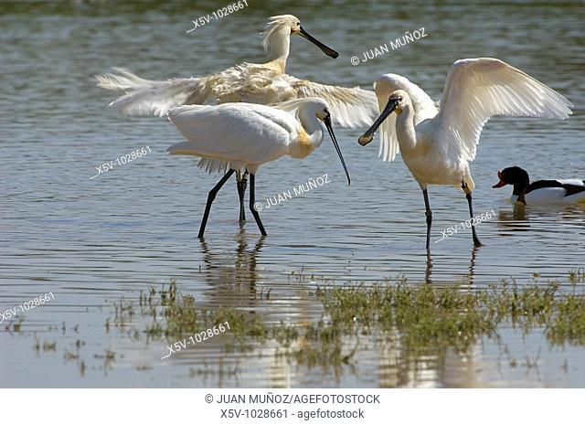 Eurasian Spoonbill (Platalea leucorodia). Odiel Marshes Natural Place. Biosphere Reserve. Huelva. Andalucia. Spain