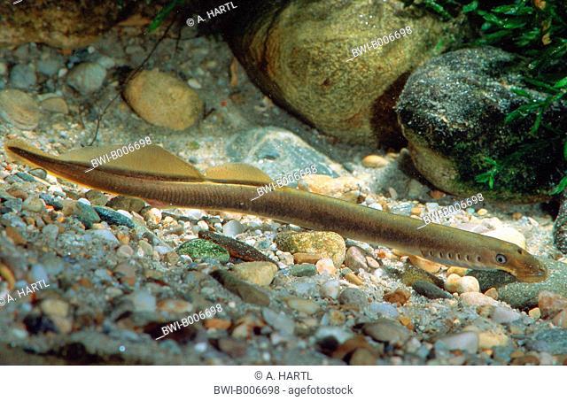 Brook lamprey, European brook lamprey (Lampetra planeri), Germany