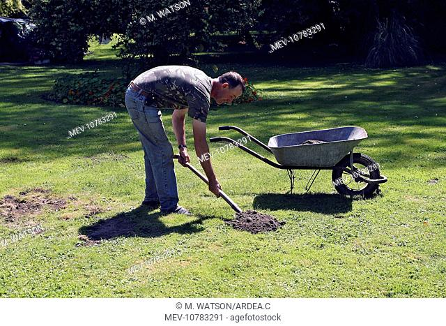 Molehills - man removing molehills from lawn (Talpa europaea)