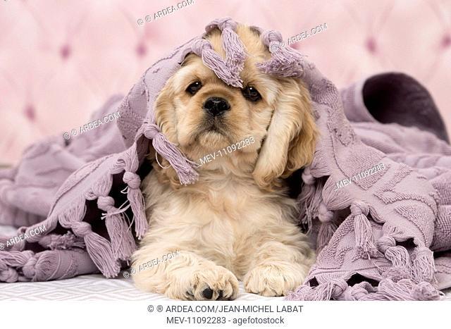 Dog American Cocker Spaniel Puppy
