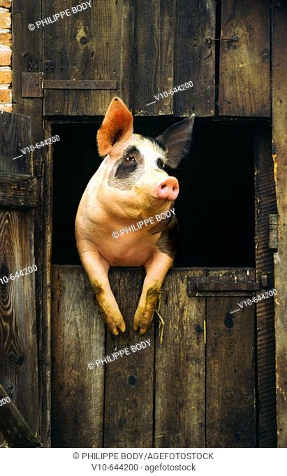 Pig at his farm cage, Alsace, France