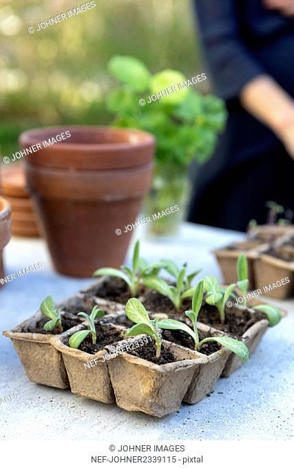 Seedlings in box