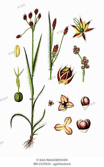 Field wood-rush, Good Friday grass (Luzula campestris), medicinal plant, historical chromolithography, around 1796