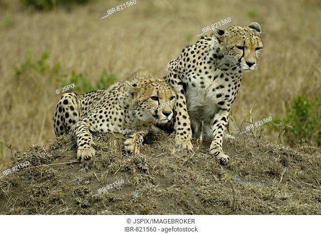Cheetahs (Acinonyx jubatus), adults, Masai Mara, Kenya, Africa