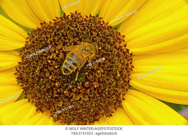 Bee / Wasp collecting Nectar on a Sunflower Blossom