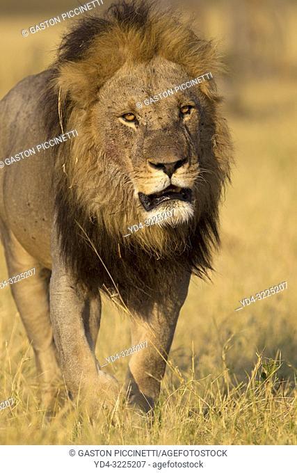 African lion (Panthera leo) - Male, Savuti, Chobe National Park, Botswana