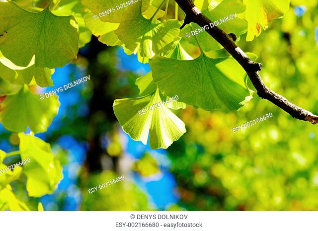 Yellow Ginkgo biloba leaf on the natural background