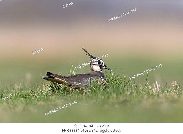 Northern Lapwing (Vanellus vanellus) adult female, sitting on nest, incubating eggs, on grazing marsh, Suffolk, England, UK, April