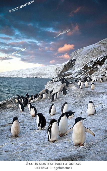 Adelie penguins walk along beach at sunset, Antarctica