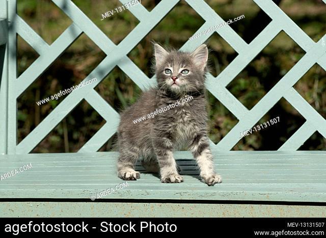CAT. grey / silver tabby kitten, 7 weeks old, on a garden bench