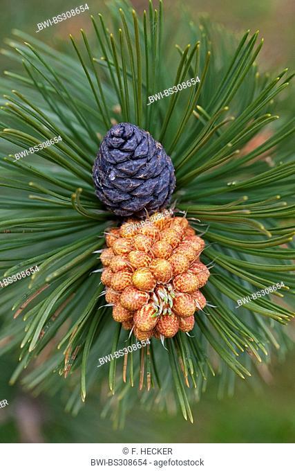 Bosnian Pine, Palebark Pine (Pinus leucodermis, Pinus heldreichii), branch with cones and male inflorescence