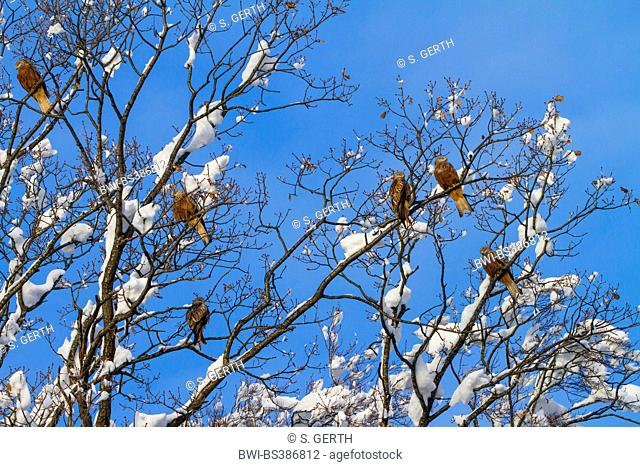 red kite (Milvus milvus), six red kites sitting on a fresh snowbound oak before blue sky, Switzerland, Sankt Gallen