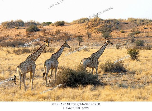Giraffes (Giraffa camelopardalis), passing through grassland, Etosha National Park, Namibia