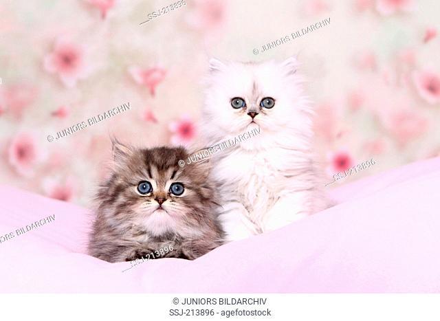 Persian Longhair. Two kittens (6 weeks old) on a pink blanket. Germany