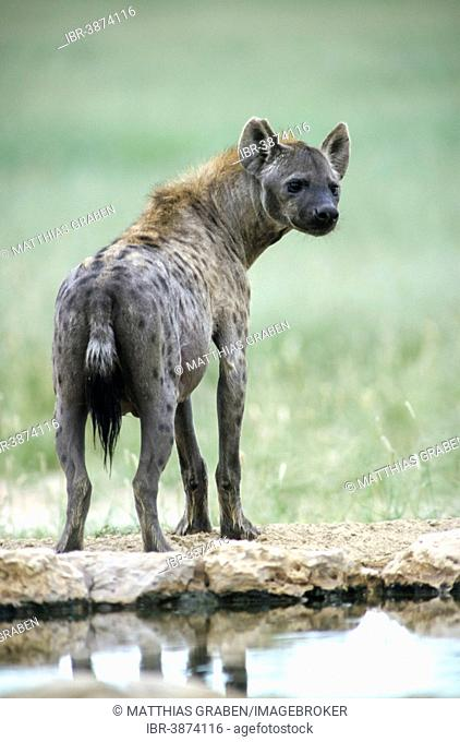 Spotted hyena (Crocuta crocuta), Kgalagadi Transfrontier Park, Northern Cape, South Africa