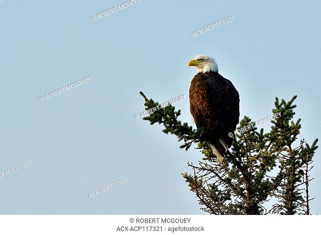 A mature bald eagle ' Haliaeetus leucocephalus'; perched on the top of a spruce tree in Jasper National Park, Alberta Canada