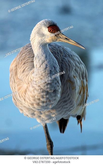 Sandhill crane, George C Reifel Migratory Bird Sanctuary, British Columbia, Canada