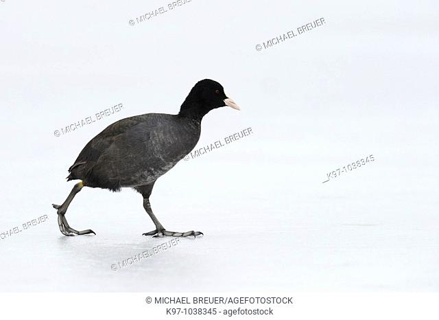 Coot on frozen lake, Germany
