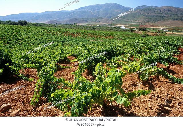 Vineyards, Laujar de Andarax. Almería province, Andalusia, Spain