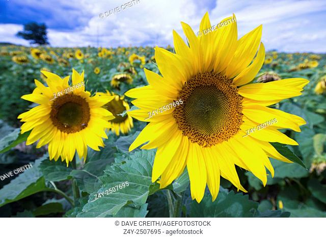 Sunflowers, Prince Edward County, Ontario, Canada