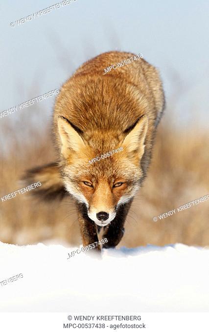 Red Fox (Vulpes vulpes) in snow, Netherlands
