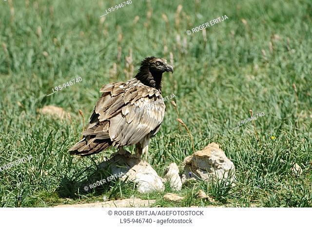 Juvenile Bearded vulture at a necrophagous birds feeding station, Spain