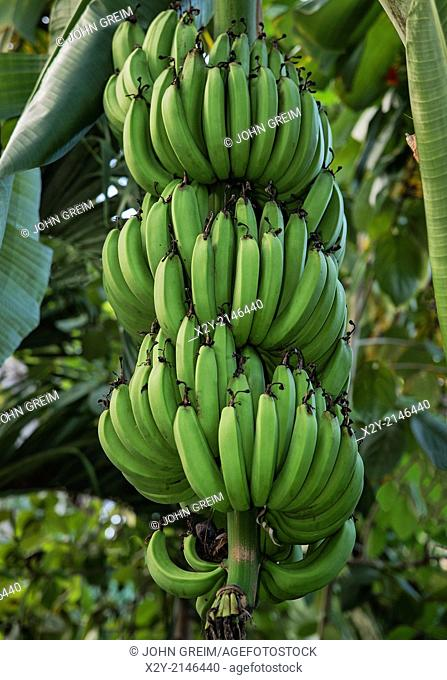 Banana tree, Jamaica
