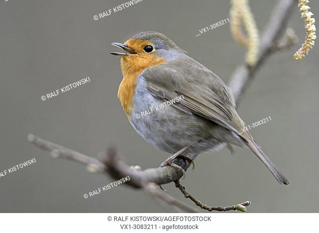 Robin Redbreast ( Erithacus rubecula ) perched on a branch of alder singing its song, courting in spring, wildife, Europe
