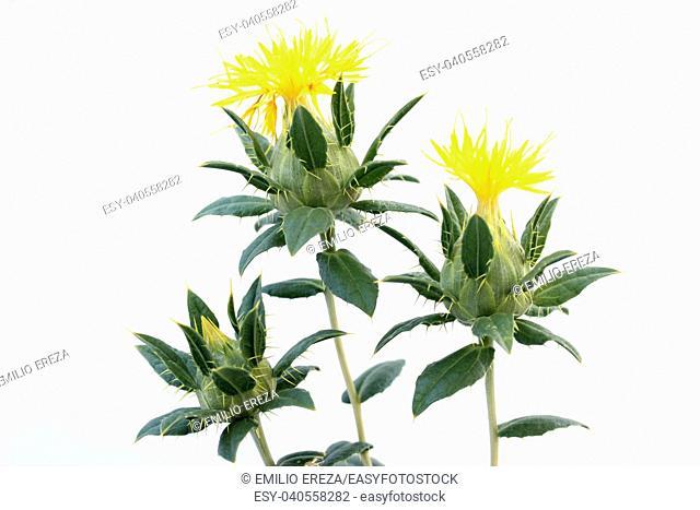 Safflower. Carthamus tinctorius