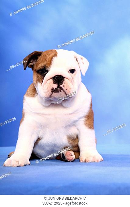 English Bulldog. Puppy (7 weeks old) sitting. Studio picture against a blue background. Germany