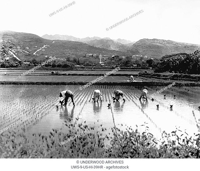 Honolulu, Hawaii: c. 1933 The Chinese in Hawaii still plant rice exactly as their ancestors did hundreds of years ago