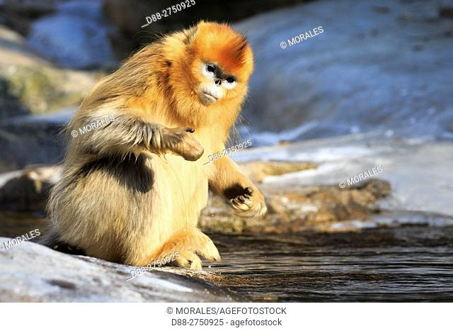 Asia, China, Shaanxi province, Qinling Mountains, Golden Snub-nosed Monkey (Rhinopithecus roxellana), near a river