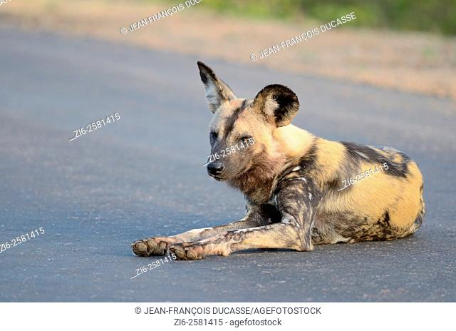 African wild dog (Lycaon pictus), lying in the middle of the road, half asleep, Kruger National Park, South Africa, Africa