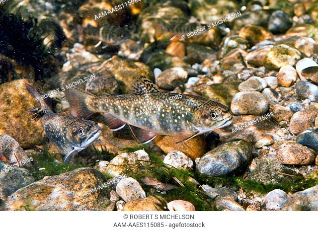 Eastern Brook Trout Male (Left), And Female (Right) On Stream Bottom (Salvelinus Fontinalis) Trout, Fish, New Hampshire