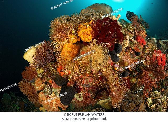 Coral Reef rich in species, Alor, Lesser Sunda Islands, Indo-Pacific, Indonesia