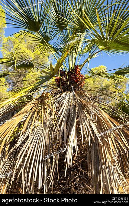 Palm (Chamaerops humilis). Route of the Spider Cave. Caroche Massif. Bicorp. Valencia