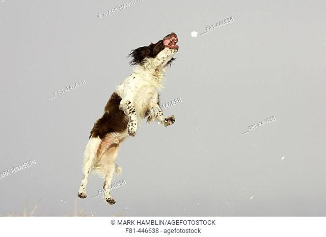 English Springer Spaniel dog jumping off ground into air to catch snowball. UK