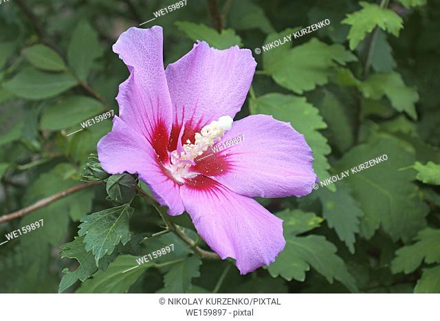 Rose of Sharon (Hibiscus syriacus). Called Syrian ketmia and Rose mallow also