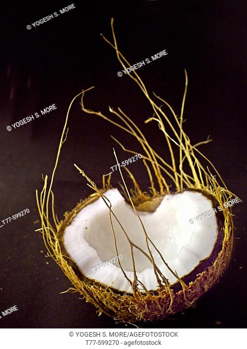 Coconut. Cocos nucifera, used in cooking and for oil. Pune, Maharashtra, India