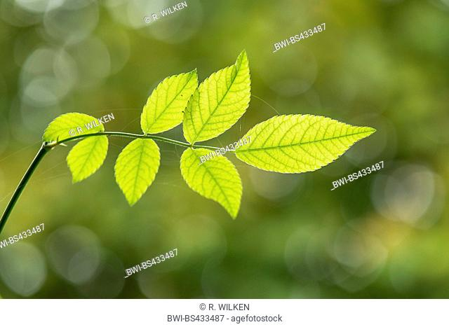 ornamental rose (Rosa spec.), rose leaf in backlight, Germany, North Rhine-Westphalia