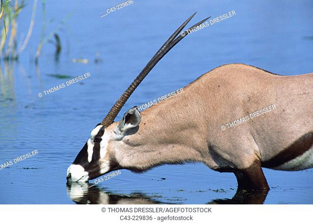 Gemsbok (Oryx gazella) drinking at a waterhole. Etosha National Park. Namibia