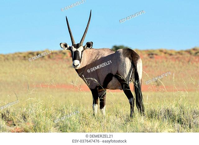 Oryx in the desert landscape of the NamibRand Nature Reserve in Namibia